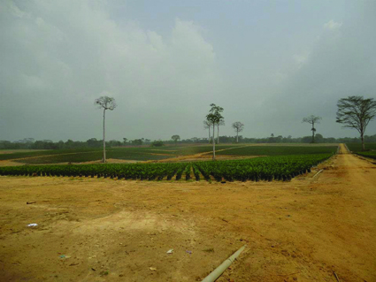 Palm oil plantation in Sinoe County, Liberia. Image courtesy of Sustainable Development Institute Liberia