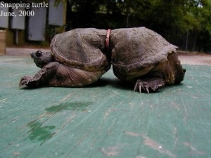 Turtle deformed after being caught in plastic